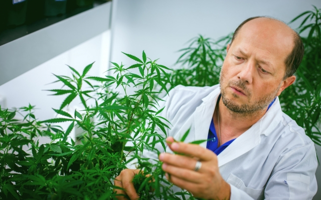 Igor Kovalchuk with cannabis plant