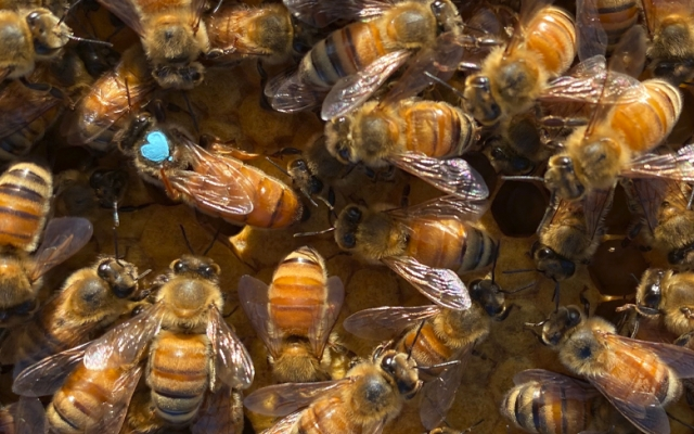 A queen bee amongst a colony of honey bees