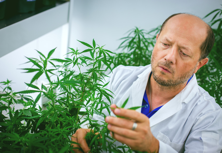 U of L scientists develop new medical cannabis cultivars that show ...