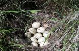 The Mallard duck nest which was discovered near the Destination Project excavation site.